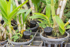 Ocrhid with yellow granular fertilizer in black basket. Stock Photography