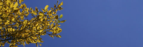 October 1. Panoramic composition with yellow apple leaves in october on a blue sky royalty free stock image