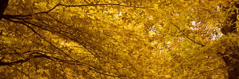 October 3. Colourful panoramic detail of branches and yellow leaves in a beech forest on a cloudy day in october royalty free stock images