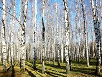 October autumn birch grove with sunbeams and shadows Stock Photos