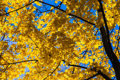 October Blues 6. Yellow leaves and black branches of a maple tree against the background of blue October sky. - Cheerfulness keeps up a kind of daylight in the Stock Photography