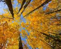 October Canopy Stock Photography