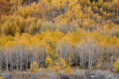 Aspens in autumn, Inyo National Forest, California 3 Royalty Free Stock Photos