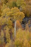 Aspens in autumn, Inyo National Forest, California 5 Royalty Free Stock Photo