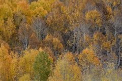 Aspens in autumn, Inyo National Forest, California 6 Stock Photo
