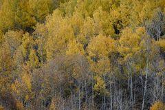 Aspens in autumn, Inyo National Forest, California 11 Royalty Free Stock Image