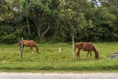 Two borwn horses grazing on a grass field with small yellow flowers in the Campeche, Florianopolis, Brazil royalty free stock image