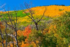 October on Grand Mesa. Aspen and Oak come alive with color during late September and October on Grand Mesa in Western Colorado stock photo