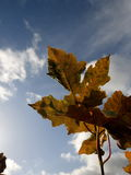 October leaf. A golden autumn leaf on the blue sky. October sky in Poland Royalty Free Stock Photo