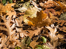 October leaves Royalty Free Stock Photography