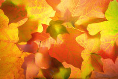 October maple leaf abstract. Colorful North American Maple leaves captured in the studio as they were changing colors in November Royalty Free Stock Photo