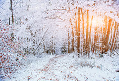 October mountain beech forest with first winter snow Royalty Free Stock Image