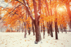 October mountain beech forest with first winter snow Royalty Free Stock Photography