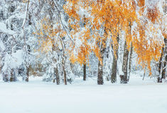 October mountain beech forest with first winter snow. Carpathian Stock Photo