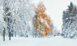 October mountain beech forest with first winter snow. Carpathian Royalty Free Stock Image
