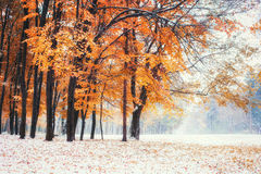 October mountain beech forest with first winter snow. Royalty Free Stock Photography