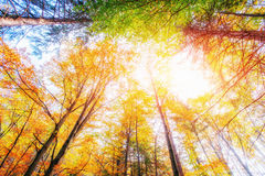 October mountain beech forest. Sunlight breaks through the autu Royalty Free Stock Image