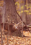October preperations. 8 point rutting buck makes scrape line stock photo