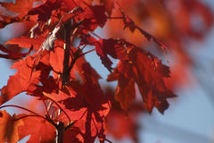 October Red Leaves. Orange/Red leaves against a slightly blurred background royalty free stock photos