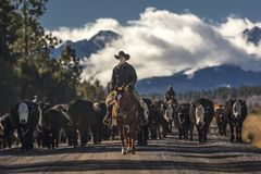Cowboys on Cattle Drive Gather Angus/Hereford cross cows and cal. OCTOBER 2017, Ridgway, Col.orado: Cowboys on Cattle Drive Gather Angus/Hereford cross cows and royalty free stock image