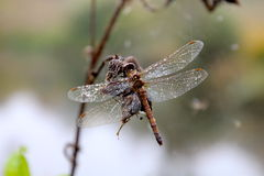 October surprised dragonfly died at work Royalty Free Stock Photos