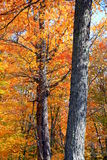 October Trees Royalty Free Stock Photography