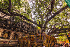 30 octobre 2014 : Arbre de Bodhi, où le Bouddha a atteint Nirva Photographie stock