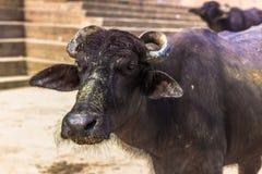 31 octobre 2014 : Taureau noir dans le Ghats de Varanasi, Inde Images libres de droits