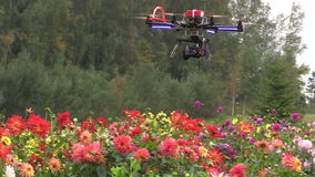 Octocopter copter with camera fly and shoot dahlia flowers stock video footage
