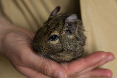 Octodon degu. In a hand Stock Photos