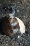 octolpus podglądanie obrazy stock