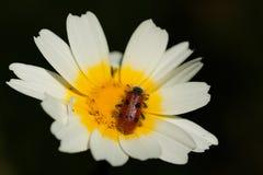 Octopunctatus de Trichodes Fotos de archivo libres de regalías