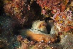 Octopus Stock Photo
