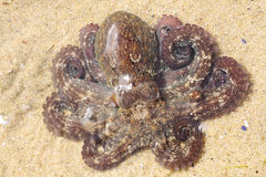 Octopus Stock Images
