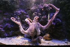 Octopus. Big octopus in the aquarium Royalty Free Stock Image