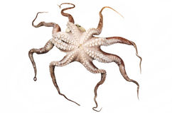 Octopus Royalty-vrije Stock Fotografie