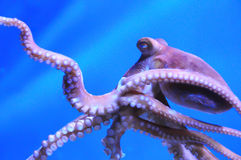 The octopus. An octopus swimming in a blue water Royalty Free Stock Image