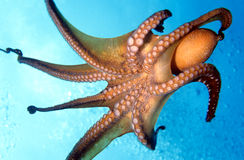 Free Octopus Royalty Free Stock Photos - 4906378