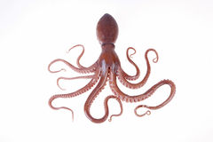 Free Octopus Royalty Free Stock Image - 50318606