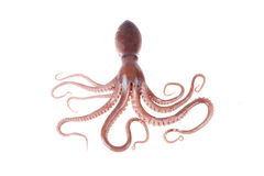 Free Octopus Stock Photos - 50318633