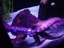 octopus Stock Foto