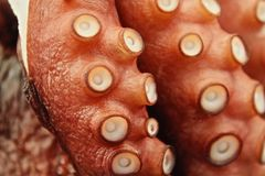 octopus Royalty-vrije Stock Foto's