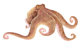 Octopus. An isolated image of deep sea octopus Royalty Free Stock Image