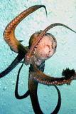 Octopus. Free swimming in mid water on coral reef Stock Images