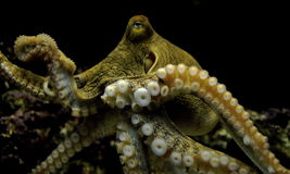 Free Octopus Royalty Free Stock Photos - 9376058