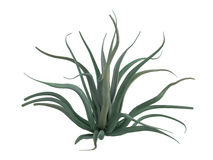 Octopus_agave_(Agave_vilmoriniana) Stock Photos