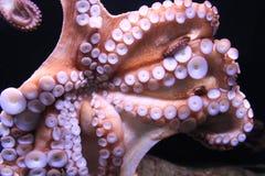 Octopus. In aquarium of Barcelona Stock Photos