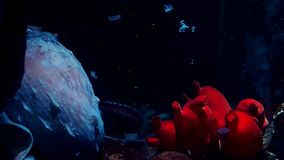 Octopus in the aquarium. Big red octopus in the dark water. Wildlife stock video footage