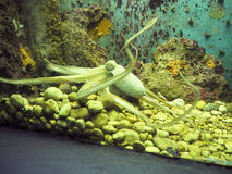 Octopus in an Aquarium Royalty Free Stock Photography