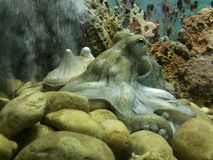 Octopus. In aquarium, surrounded by corals and stones, observing royalty free stock images